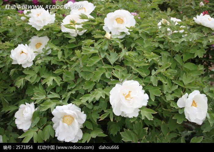盛开的白牡丹花_花草树木图片