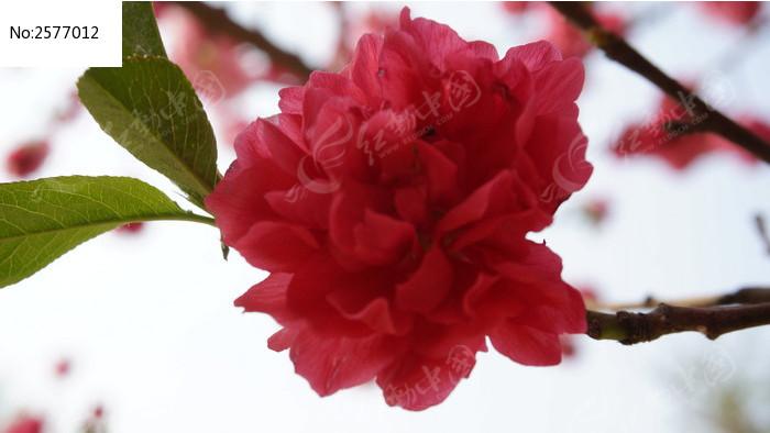 红樱花特写图片_动物植物图片