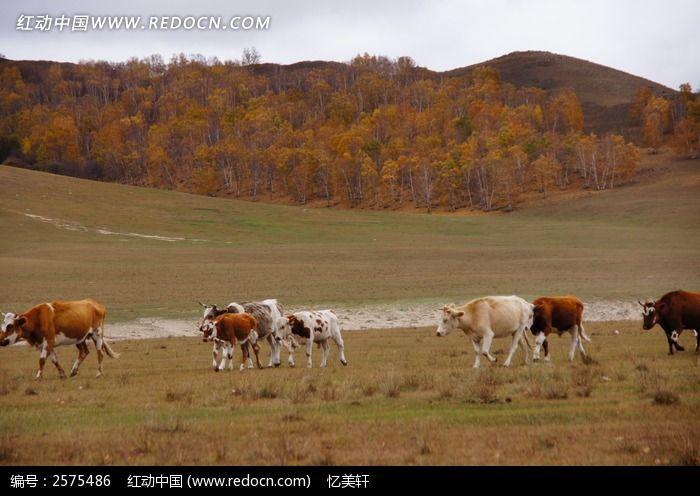 原创摄影图 动物植物 陆地动物 牛群