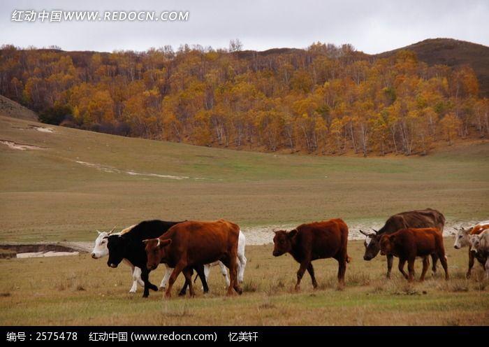 草地上的牛群图片,高清大图