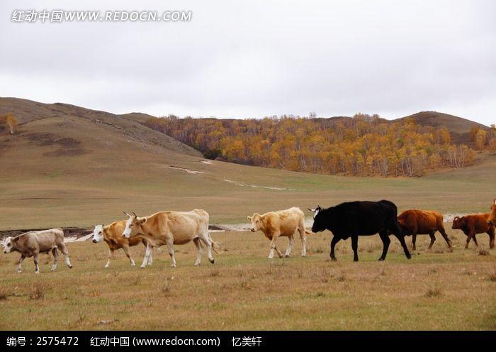 牛群图片素材下载(编号:2575472)