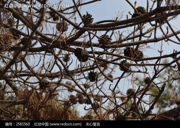 干枯松子近景图片_动物植物图片