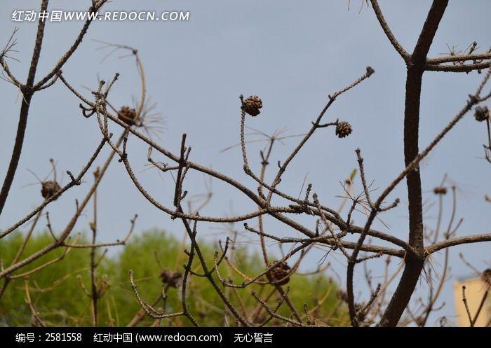 干枯的松子图片_动物植物图片