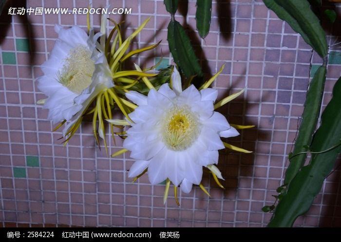 原创摄影图 动物植物 花卉花草 火龙果花