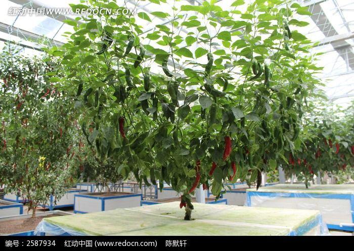 辣椒树图片