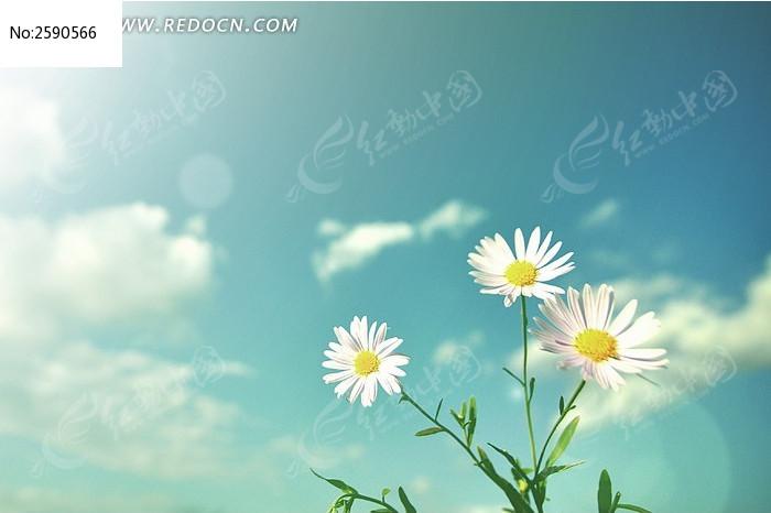阳光下的雏菊图片