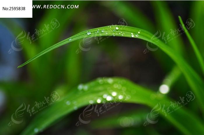 青草bt种子_清晨公园里青草叶子上的露珠高清图片下载_红动网