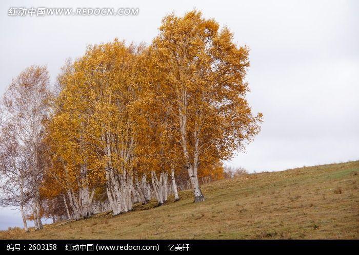 原创摄影图 自然风景 森林树林 白桦树近景