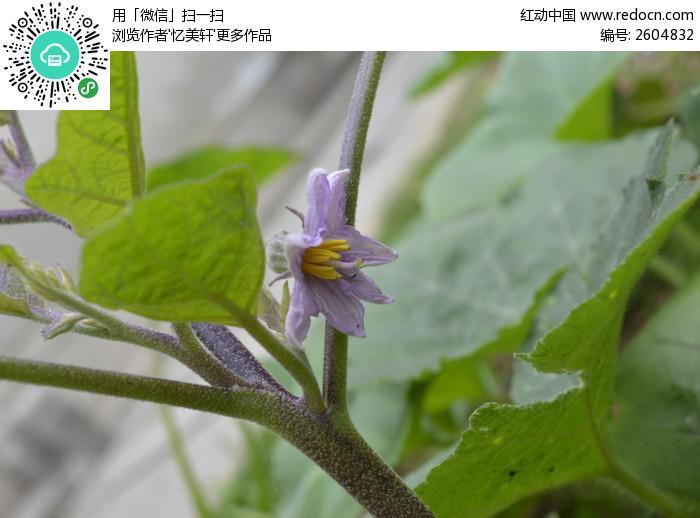 茄子瓜苗在开花图片,高清大图