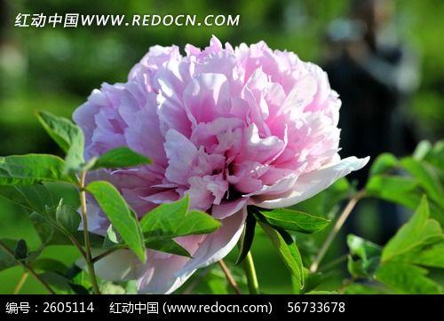 中国国花(牡丹花)图片素材下载(编号:2605114)