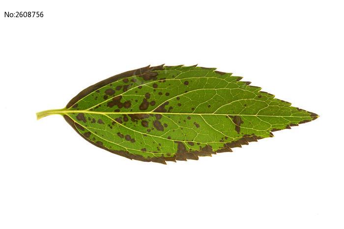 白菜的叶脉结构图