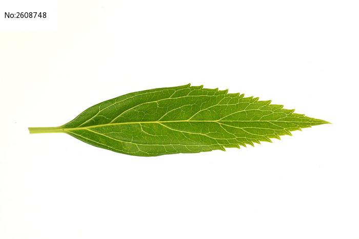 一片树叶高清图片下载 编号2608748 红动网