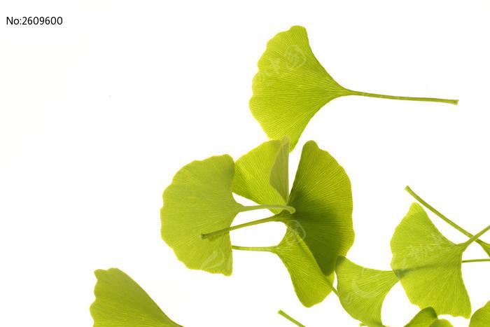 银杏树叶材质贴图-银杏叶纹理高清大图片