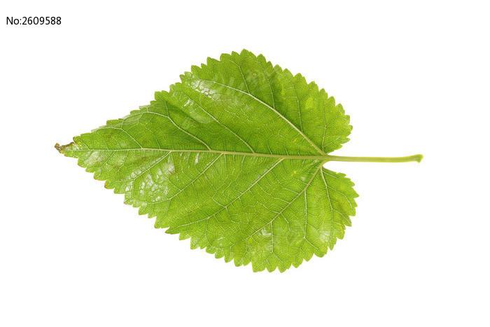 树叶叶脉高清大图片