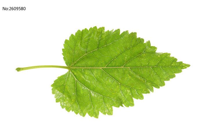 一片树叶高质感大图高清图片下载 编号2609580 红动网