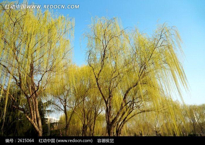 春天发芽的柳树树冠图片
