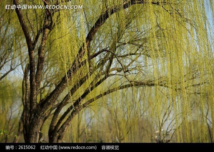 春天发芽的柳树图片
