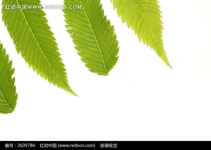 绿色树叶叶脉高清大图片