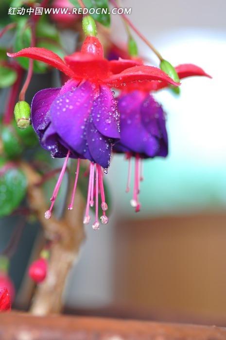 红灯笼花图片_紫色灯笼花高清图片下载_红动网