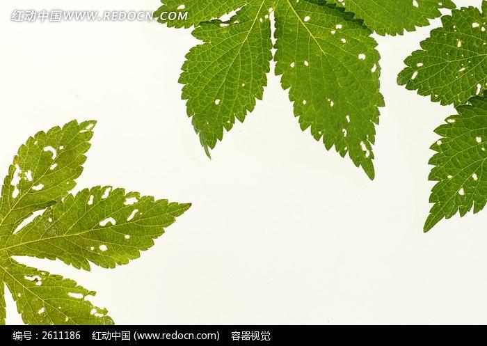 绿色树叶叶脉纹理高清大图片