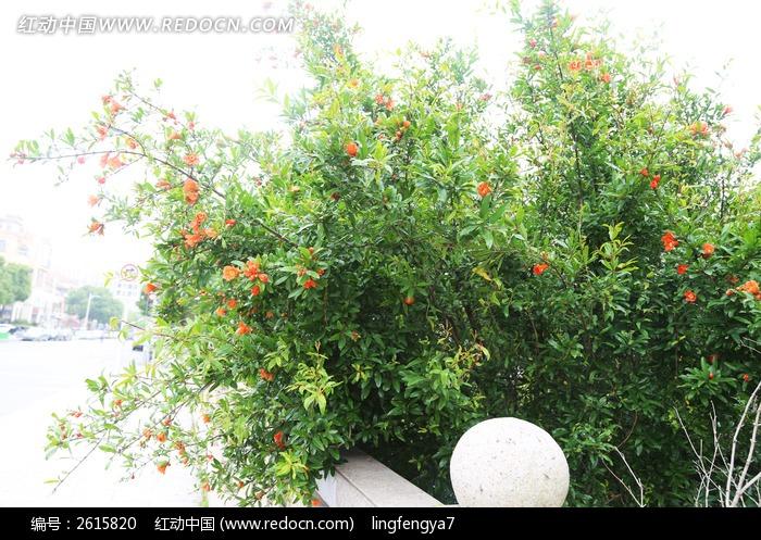 石榴树图片_动物植物图片