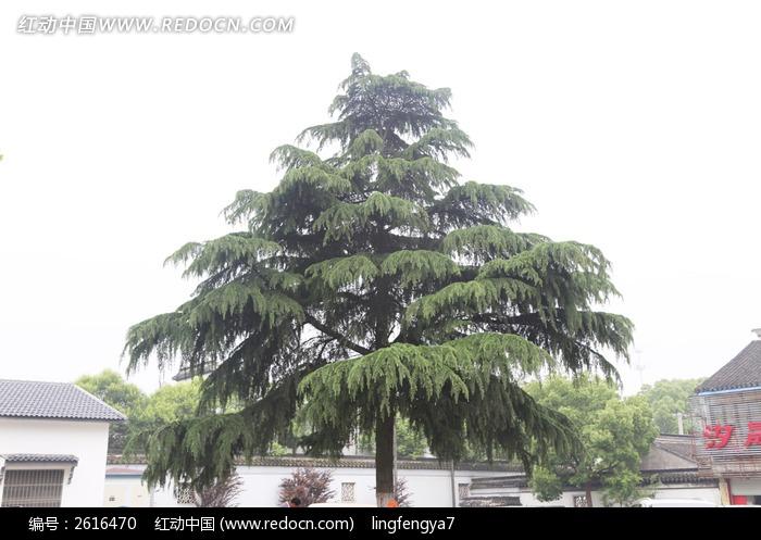 松树 大树