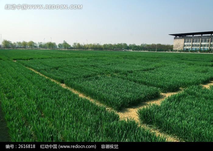 宽阔的绿色麦田高清大图