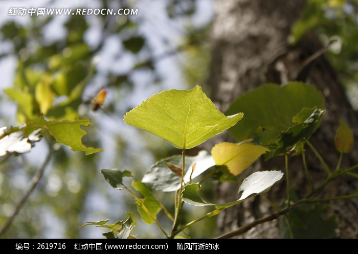 嫩绿的杨树叶图片
