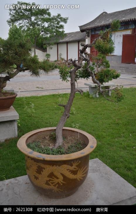 原创摄影图 动物植物 树木枝叶 松树盆景