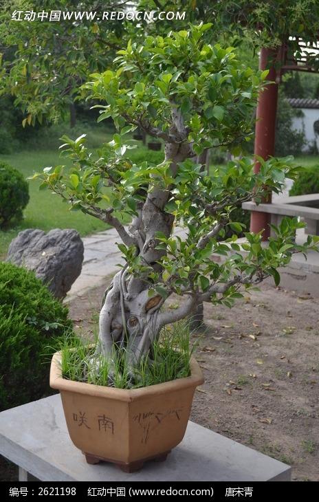 原创摄影图 动物植物 树木枝叶 盆景艺术