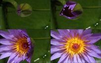 动态紫色太阳花开放过程高清动态视频