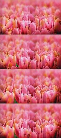 婚庆盛开的郁金香花海LED背景