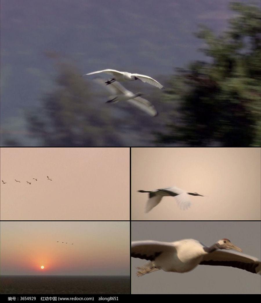 大雁、丹顶鹤飞翔视频图片