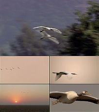 大雁、丹顶鹤飞翔视频