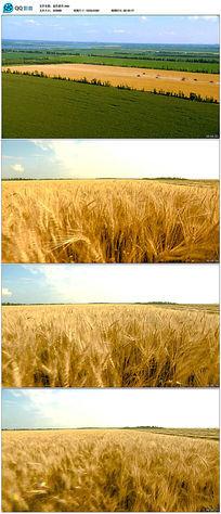 金色麦田麦浪农业视频素材