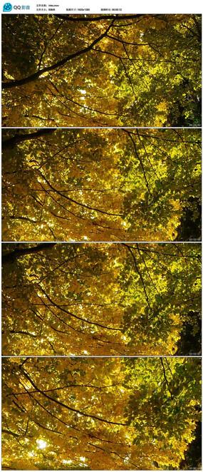 秋天树林风景视频