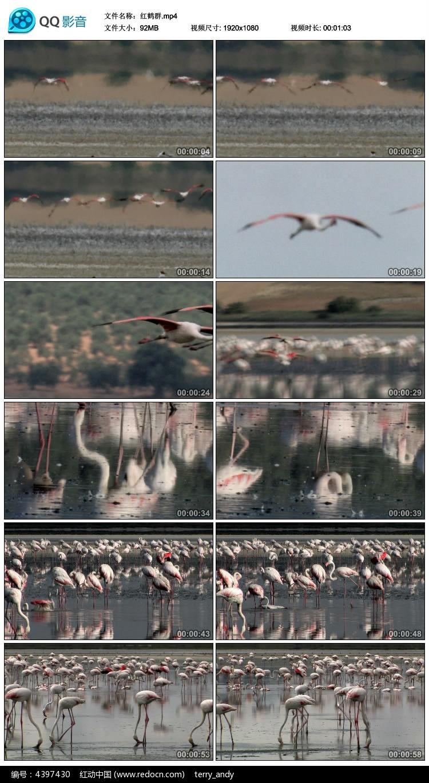 红鹤群视频素材图片