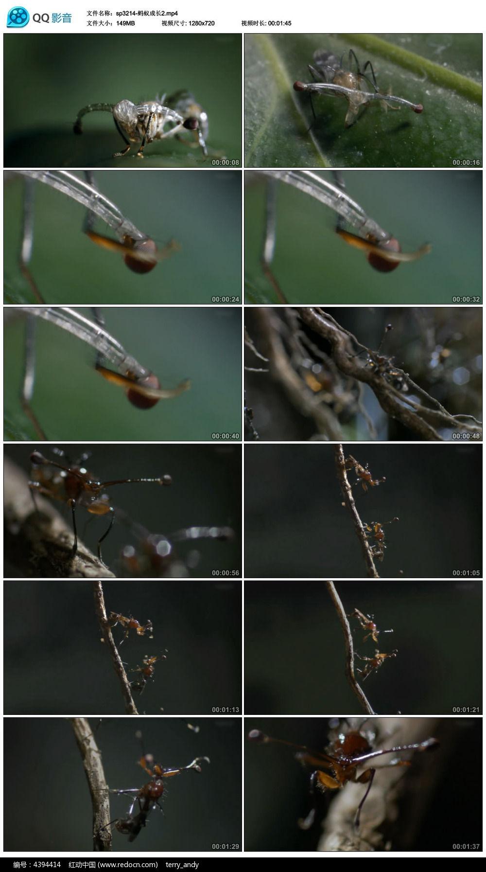 蚂蚁成长特写视频素材