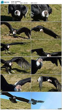 起飞的神鹰视频