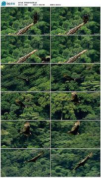 热带雨林中的秃鹫