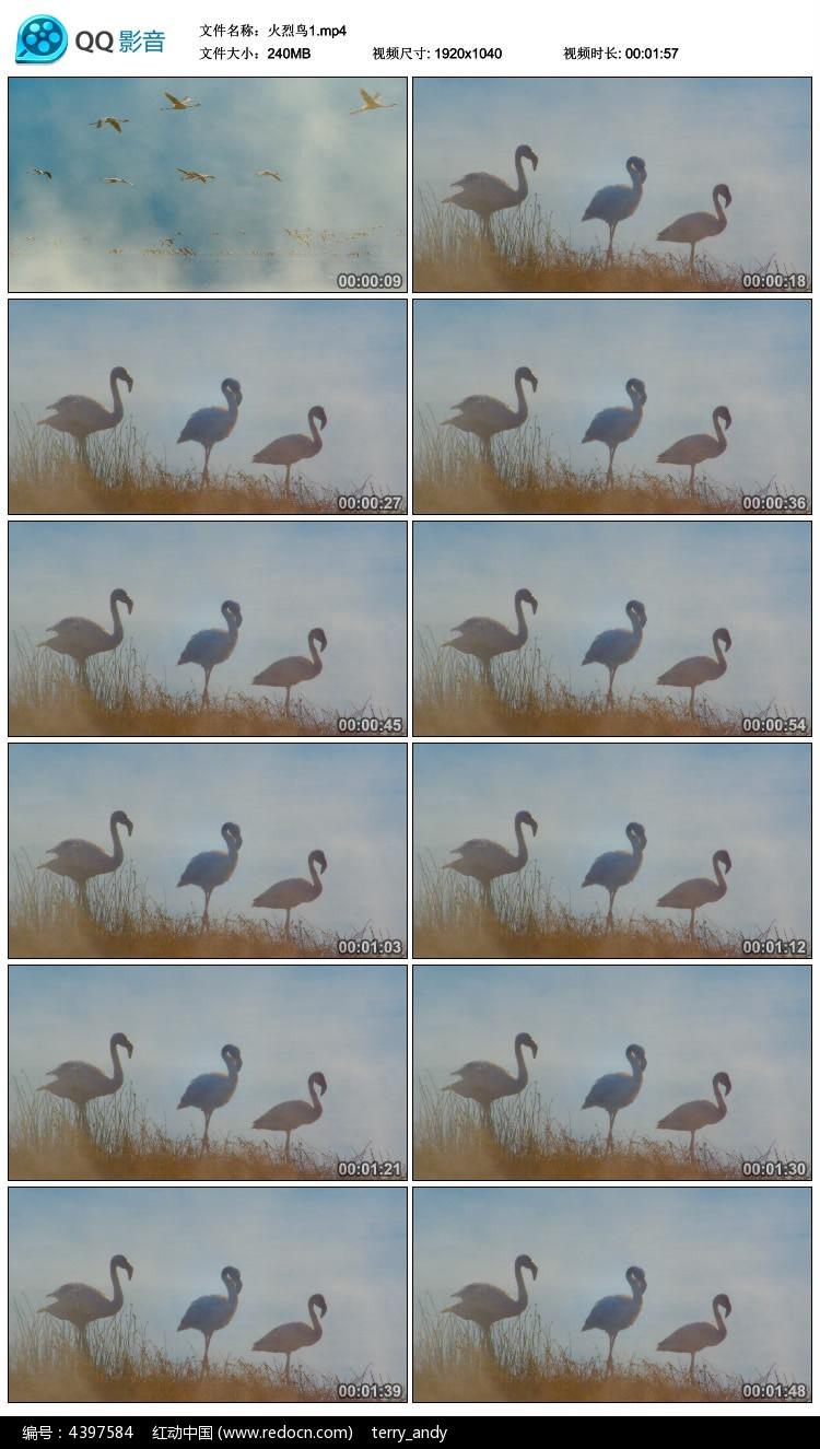 特写实拍火烈鸟视频素材图片