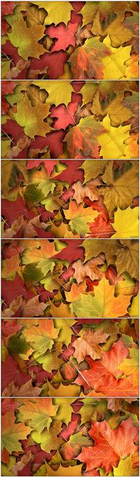 秋天红枫叶视频