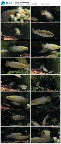伊比利亚青鳉鱼实拍素材
