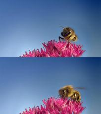 蜜蜂采花粉实拍素材