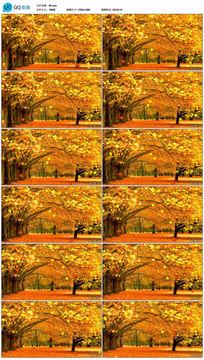 红杉树秋天季节枫树林动态视频素材