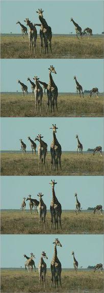 长颈鹿动物实拍视频素材