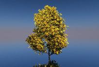黄叶树C4D模型