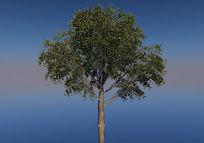 杉树C4D模型