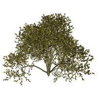 矮灌木灰模