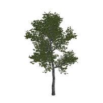 杉木C4D模型